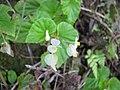 Starr-110330-4318-Begonia hirtella-flowers-Hana Hwy Oopuola-Maui (24988256721).jpg