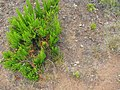 Starr-110705-4820-Erica lusitanica-habit on old road with seedlings-Waiale Gulch-Maui (25071497016).jpg