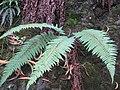 Starr-110705-6666-Polystichum sp-habit-Waiale Gulch-Maui (24979951212).jpg