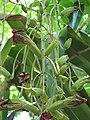 Starr-120522-6082-Kigelia africana-flowers-Iao Tropical Gardens of Maui-Maui (25049848201).jpg