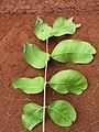 Starr-130320-3415-Cupaniopsis anacardioides-leaves-Nihoku Mokolea Pt Kilauea Pt NWR-Kauai (24582343083).jpg
