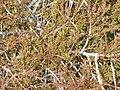 Starr-141106-5351-Juniperus virginiana-branches-8500 Ft Grove HNP-Maui (24621929363).jpg