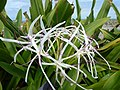 Starr-150403-0358-Crinum asiaticum-flowers-Near Pier Eastern Island-Midway Atoll (24980826920).jpg