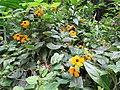 Starr-160210-3754-Thunbergia alata-flowers leaves-Hawea Pl Olinda-Maui (26947479205).jpg
