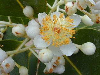 Malpighiales - Flower of Calophyllum inophyllum (Calophyllaceae)