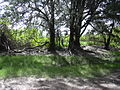 Starr 040121-0021 Casuarina equisetifolia.jpg