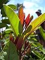 Starr 040131-0040 Santalum freycinetianum var. lanaiense.jpg