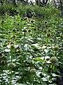 Starr 040410-0049 Leonotis nepetifolia.jpg