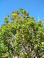Starr 051217-5755 Cinnamomum camphora.jpg