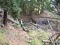 Starr 051224-5901 Pinus radiata.jpg