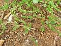 Starr 060228-6322 Chenopodium oahuense.jpg