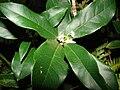 Starr 070404-6724 Osmanthus fragrans.jpg
