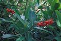 Starr 980529-4189 Norantea guianensis subsp. guianensis.jpg