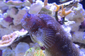 Starry Blenny.png