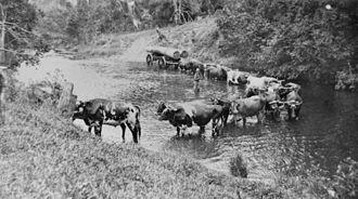 Eumundi, Queensland - Bullock team, 1917