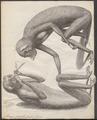 Stenops gracilis - 1734-1765 - Print - Iconographia Zoologica - Special Collections University of Amsterdam - UBA01 IZ19700191.tif