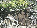 Stony Point Penguin Colony - panoramio (9).jpg