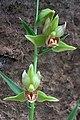 Stream Orchid (1055475438).jpg
