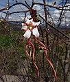 Strophanthus on Mount Ribaue (10208476236).jpg