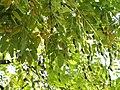 Styphnolobium japonicum2.jpg