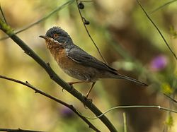 Subalpine Warbler - Monfrague - Spain 2669 (19110069408).jpg