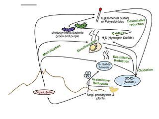 Sulfur cycle Biogeochemical cycle of sulfur