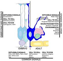 Plenkreskulo neurogenesis - Wikipedia
