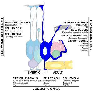 Adult neurogenesis - Summary of the signalling pathways in the neural stem cell microenvironment.