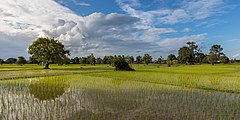 Sunny green paddy fields with water reflection.jpg