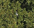 Swallow-tailed Kite, St. Johns, MI, 24 August 2015 (20837920682).jpg