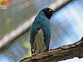 Swallow Tanager SMTC.jpg