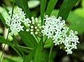 Swamp Milkweed Asclepia perennis (26951737769).jpg