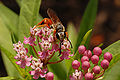 Swamp Milkweed Asclepias incarnata Insect Front 3008px.jpg