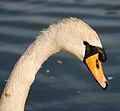Swan close up (3522713121).jpg