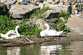 Swans along Lake St. Clair shoreline (8741972570).jpg