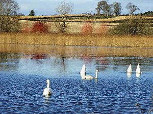 Lake of the Hirsel - Image: Swans on Hirsel Lake geograph.org.uk 1078479