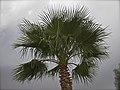 Swaying Palm (14636422697).jpg