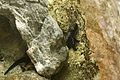 Sword-tail Newt.jpg