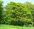 Sycamore, Carnfunnock Country Park - geograph.org.uk - 797990.jpg