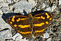Symbrenthia lilaea formosanus dorsal view 20150214.jpg