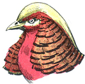 Tête de Faisan doré (Millot-1907).png