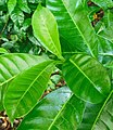 Tabernaemontana citrifolia (Leaves).jpg