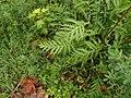 Tanacetum vulgare 108629986.jpg