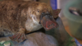 "Taxidermy platypus ""Death and Taxidermy"" video.png"