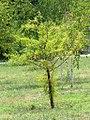Taxodium distichum - Močvarni čepres (112).jpg