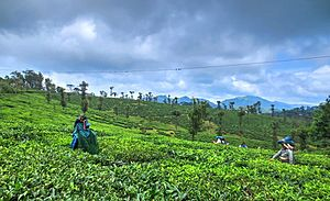Nelliampathi - Image: Tea Plantation at Nelliyampathi Hills