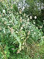 Teasels near Purton Stoke - geograph.org.uk - 1463186.jpg