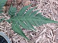 Tectaria coadunata at Periya (1).jpg