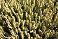 Teguise Guatiza - Jardin - Euphorbia griseola 02 ies.jpg