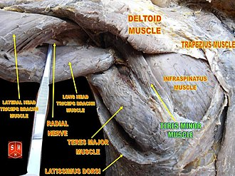 Teres minor muscle - Image: Teres minor muscle